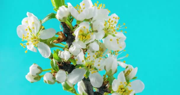 Spring flowers. Plum flowers on an plums branch blossom on a blue background. Time Lapse 4K video.