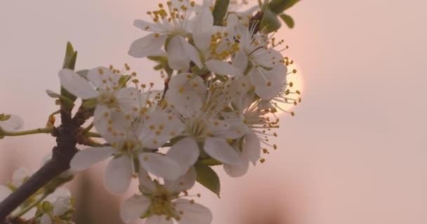 Jarní květiny. Švestkové květy na švestkové větvi proti růžovému západu slunce.
