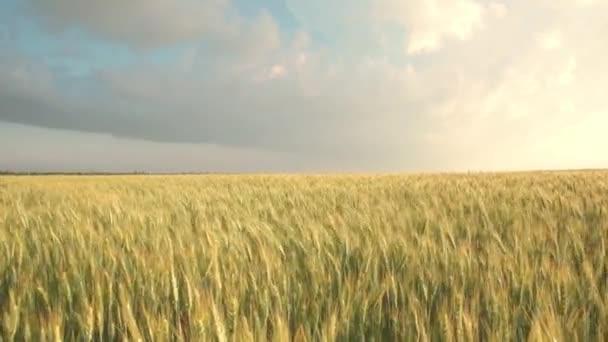 sárgadinnye tüskés búzamező. Viharos felhők a búza hátterén