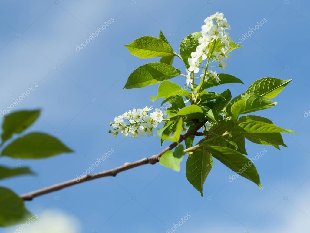 Bird cherry blossom branch