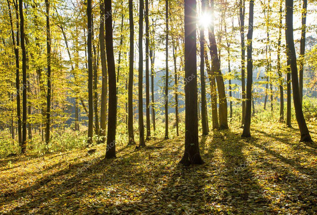 Фотообои  autumnal forest with sunbeams