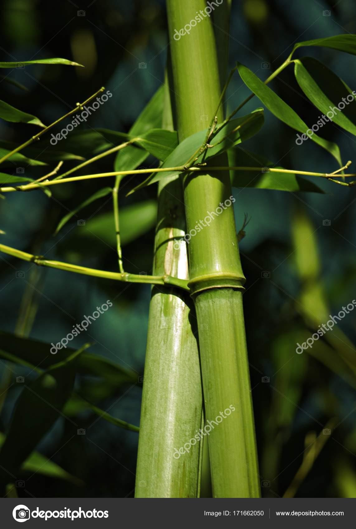bambus staebe gruen photographie gabii40 171662050. Black Bedroom Furniture Sets. Home Design Ideas