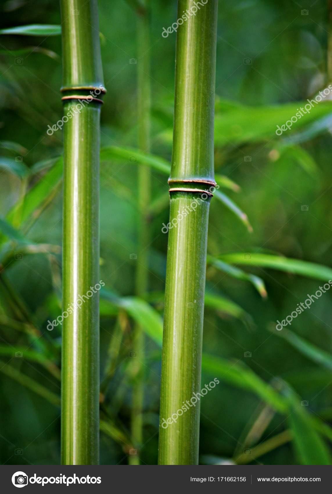 bambus staebe gruen photographie gabii40 171662156. Black Bedroom Furniture Sets. Home Design Ideas