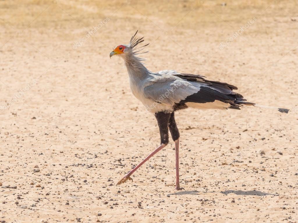Secretary Bird Walking