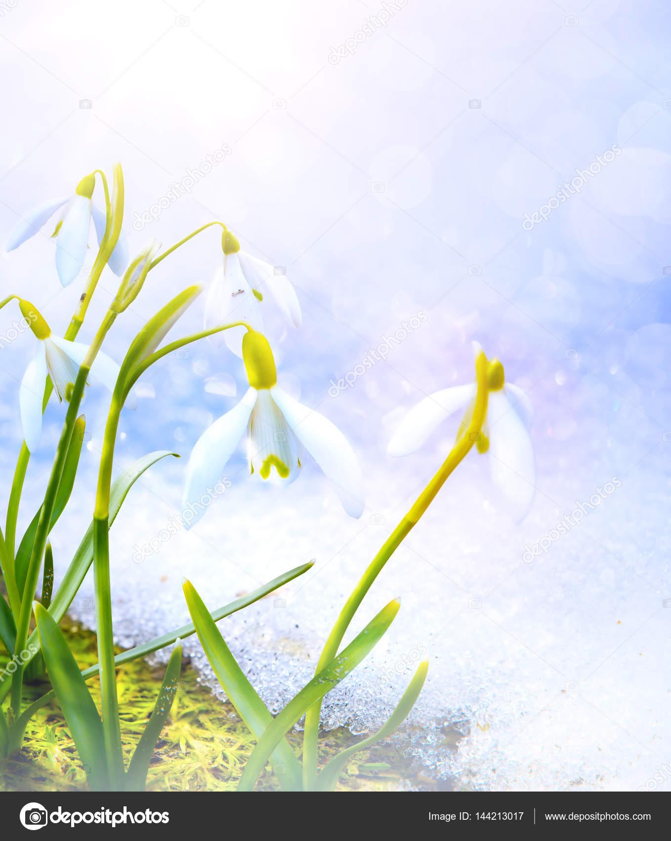 Kunst Schneeglockchen Fruhlingsblumen Mit Schnee In Den Wald