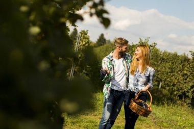 Couple harvesting grapes in vineyard