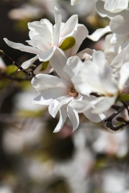 Magnolia stellata in bloom