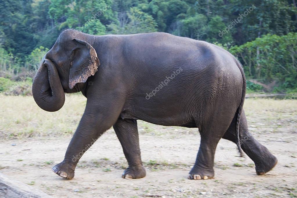 Elephant walking outdoors