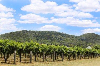 Vineyard in countryside of Mudgee
