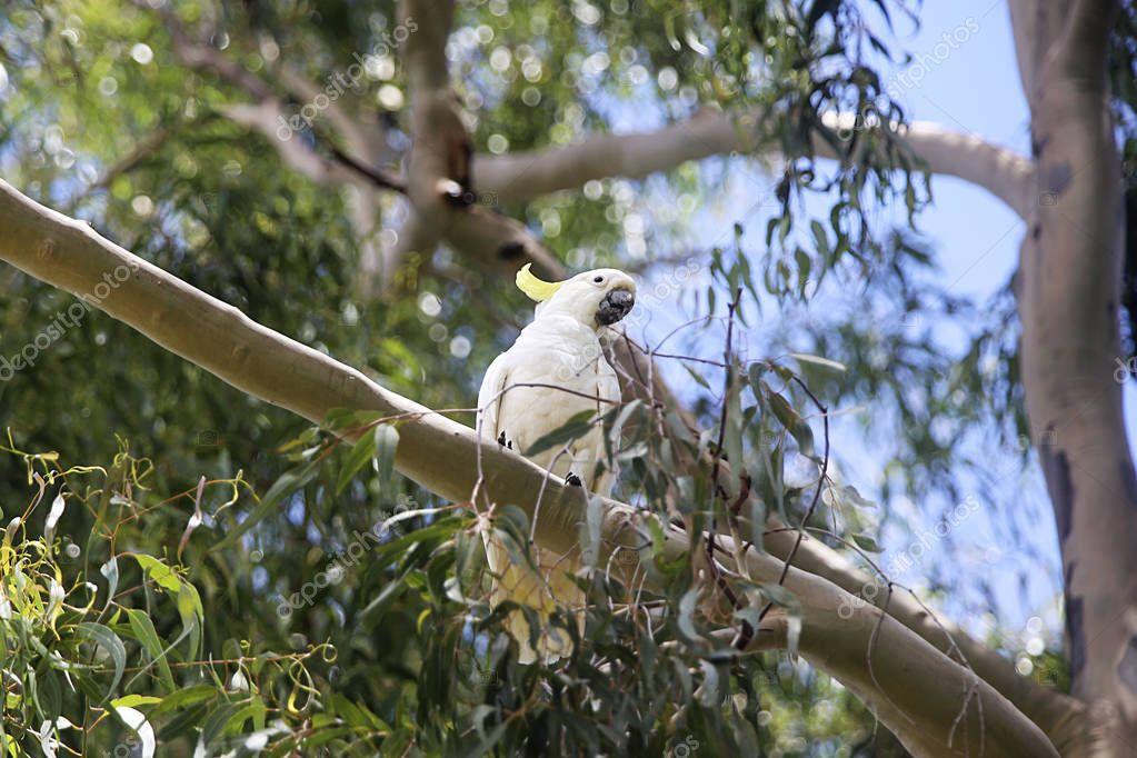 Sulphur-crested Cockatoo on a tree