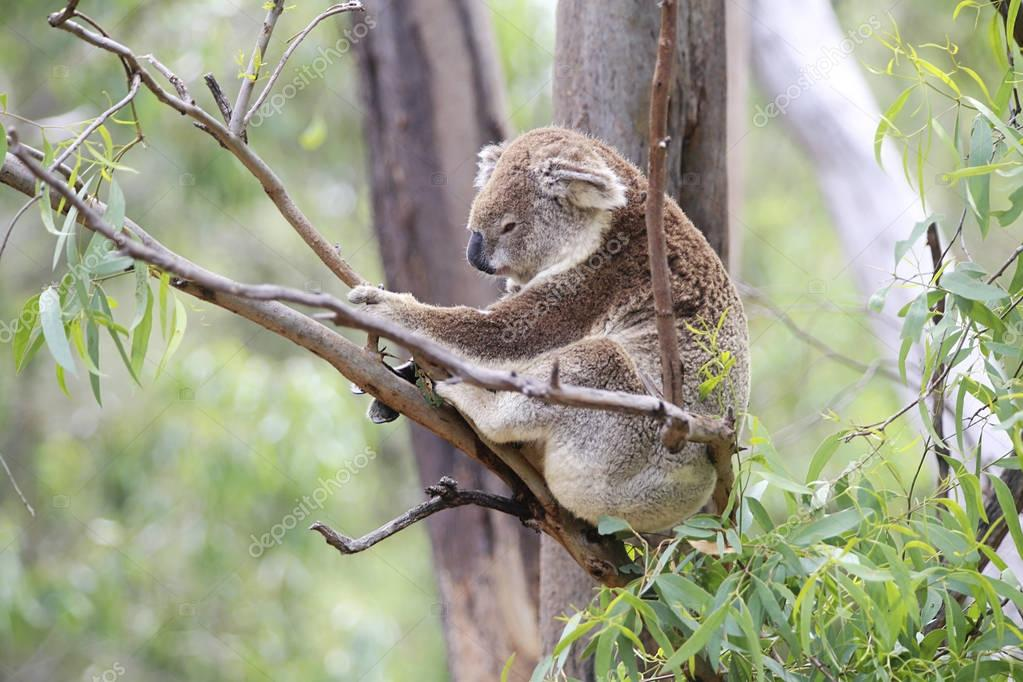 Koala climbing on a tree