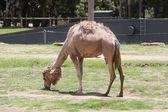 Camel from Taronga zoo