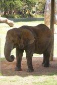 Slon od Taronga zoo