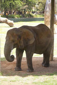 Elefante da Taronga zoo