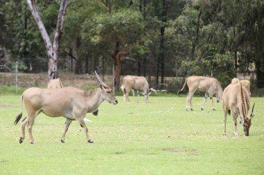 Eland antelope from Taronga Zoo