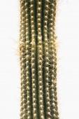 Kaktusz elszigetelt fehér background