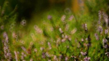 Blurred background video of heather shrub