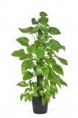 Epipremnum aureum plant or golden pothos
