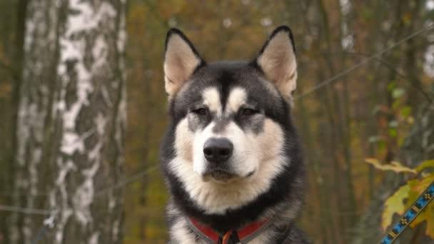 Psí plemeno Husky Closeup vypadá dopředu