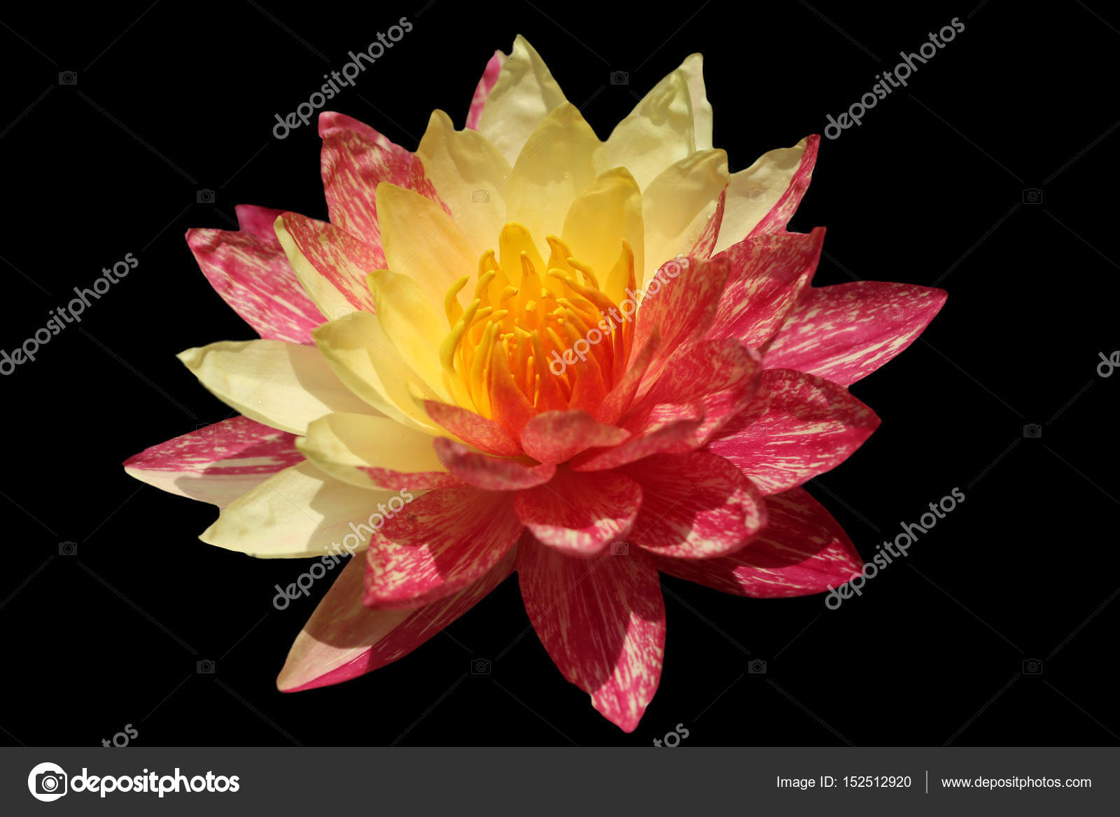 Waterlily or lotus flower isolated on black background stock photo close up blooming waterlily or lotus flower isolated on black background photo by bannrakbua izmirmasajfo