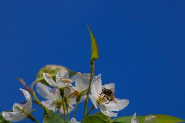 """Картина, постер, плакат, фотообои """"пчела опыляет цветы яблони постеры животные"""", артикул 158046204"""