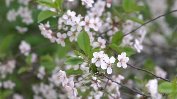 Třešňové květy kvetou na jaře. Čerstvě kvetoucí broskvové květy. Jarní příroda. Krásné třešňové květy.