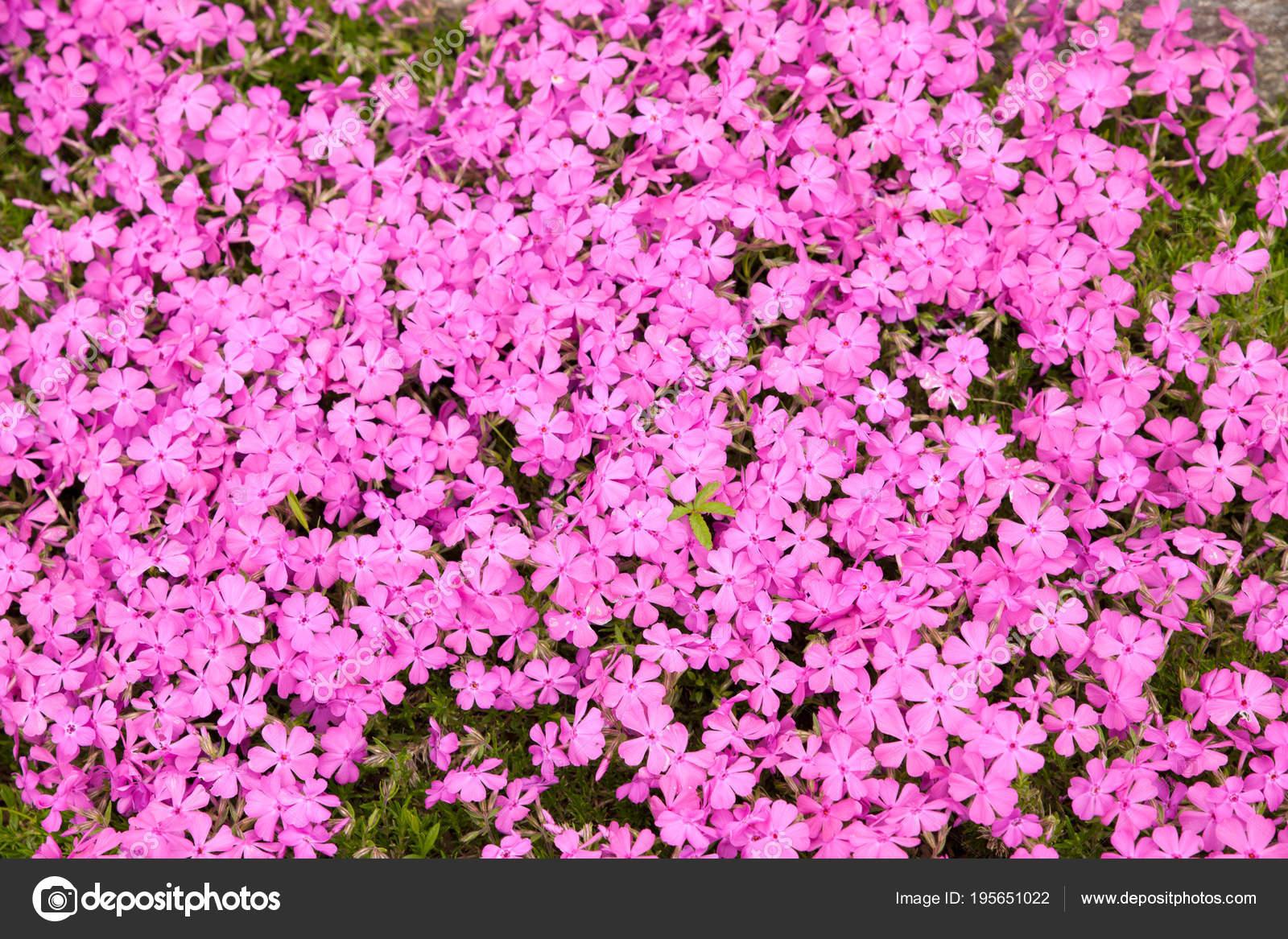 Blühender Steingarten im Frühjahr. Verschiedene Büsche und Blumen bl ...