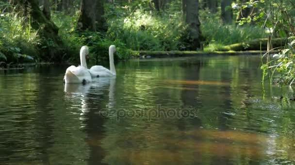 labutě na jezeře