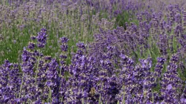 Pozadí květy fialové pole