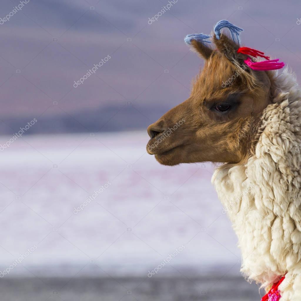 Alpaca at Colorado Lagoon, Salt Lake, Bolivia, South America.