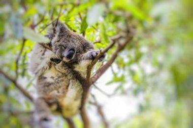 Sleeping koala on eucalyptus tree