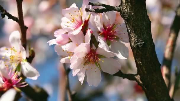 Třešňové květy, růžové květy na jaře