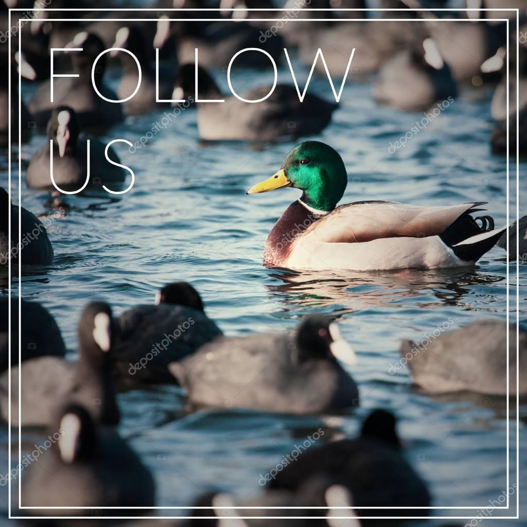 Word Follow Us. Wild  Mallard ducks swim in the lake.