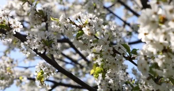 Krásné Kvetoucí třešeň sakura v jarním období