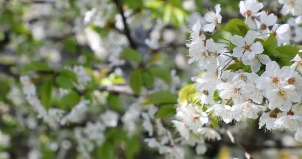 Krásné třešňové květy sakura na jaře.