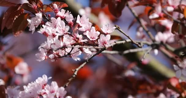 krásné kvetoucí japonská třešeň - sakura. pozadí s květinami na jarní den.