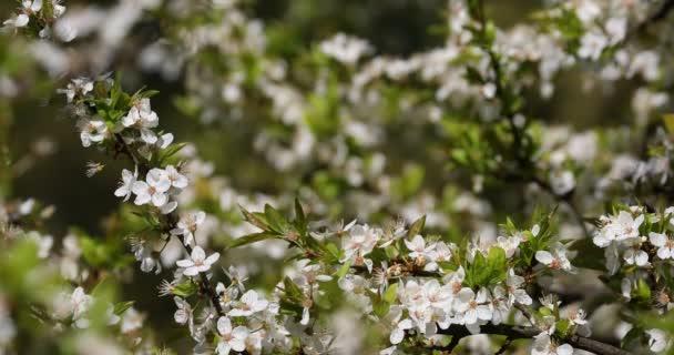 Jemné květy třešní, podsvícení, zblízka. Selektivní fokus