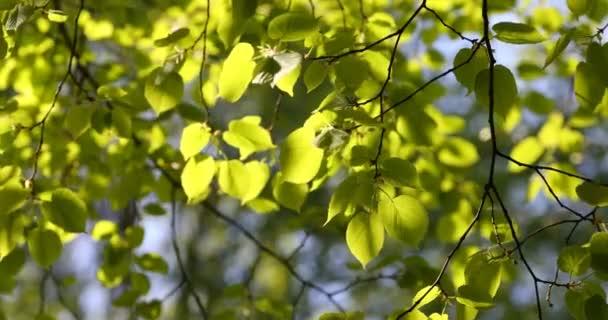 Zelená poupata na větvích na jaře. Příroda a kvetoucí na jaře. Bokeh světlé pozadí.