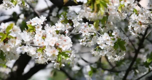 Gyönyörű tavaszi idő sakura.