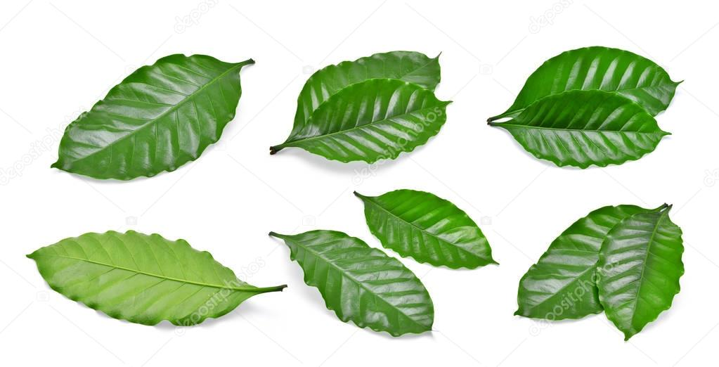 set of green coffee leaf isolated on white background