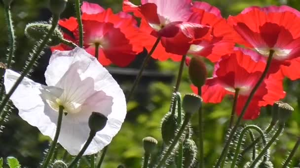 White,red poppy on a green background. Close-up of poppies on a sunny day.