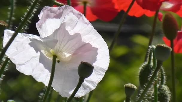 Red poppy on a green background. Close-up of poppies on a sunny day.