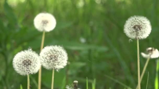 Pampelišky a okolí. Trávník s pampelišky. Bílé, jemné, křehké květiny.