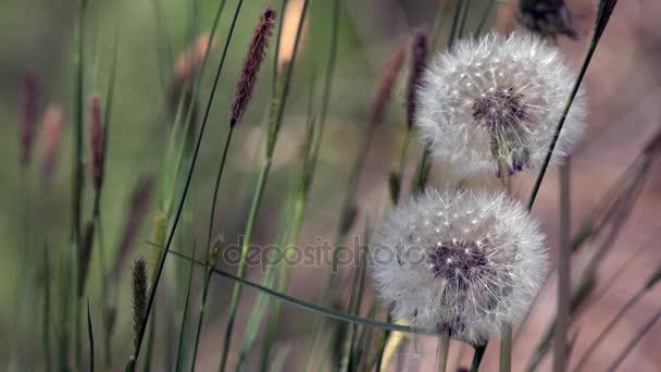 Wiese mit Löwenzahn. Weiße, zarte, zerbrechliche Blüten