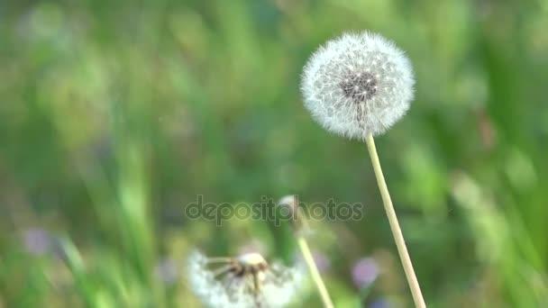 Pampelišky a okolí. Bílé, jemné, křehké květiny.