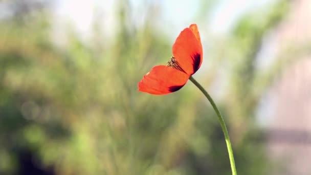 Beautiful, gentle, field poppy.Red poppy on a green background.