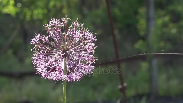 Cibule dekorativní. Allium. Květenství. Zázrak na koule. Fialové květy