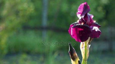 A bordó színű iris az ellenállhatatlan
