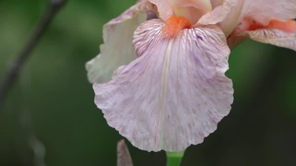 Gentle, pink iris. A beautiful decorative flower.