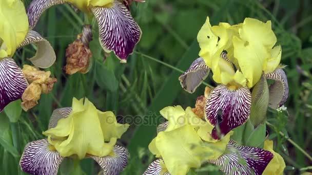 Delicate, yellow iris. A beautiful decorative flower.